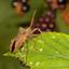 Zuringwants (Coreus marginatus)