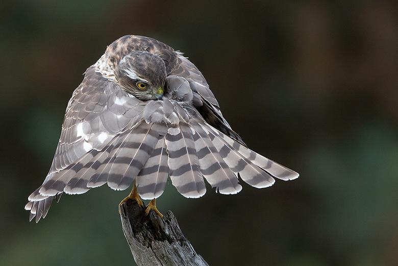 Surrounded by feathers! - Deze juveniele Sperwer, liet zich van haar mooiste kant zien, tijdens het poetsen van haar verenkleed.<br /> <br /> Iedere