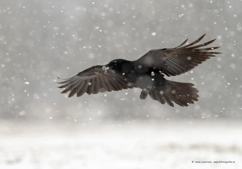 Raaf - Tijdens het sneeuwen geprobeerd vogels te fotograferen. Dat veel niet mee om ze scherp vast te leggen, aangezien de camera telkens in de war ra