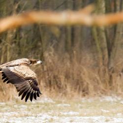 zeearend vliegt langs bosrand