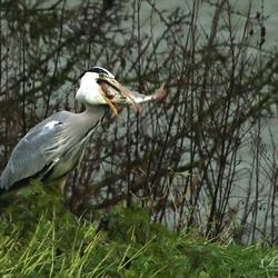 Reiger vangt grote vis.