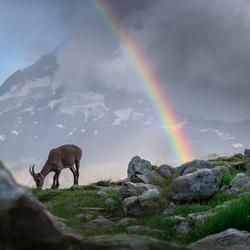Ibex under the rainbow
