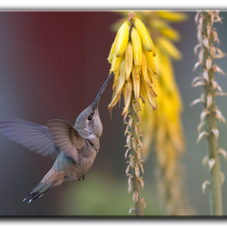 Kolibrie's van Peru