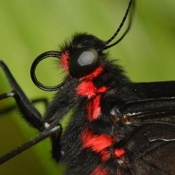harige vlinder