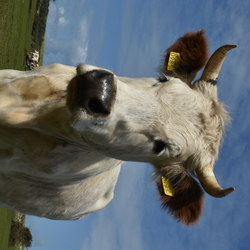 nieuwschierige koe