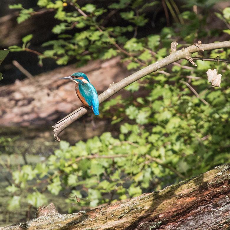The return of the Kingfisher... - rustend op een tak, na een snelle lunch...