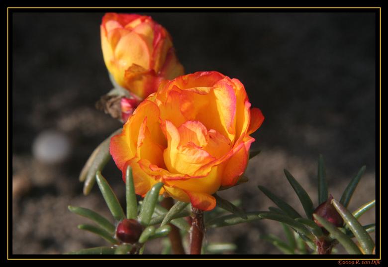 Nazomer - Zomaar een bloemetje in de tuin.