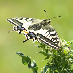 Koninginnepage (Iphiclides machaon)