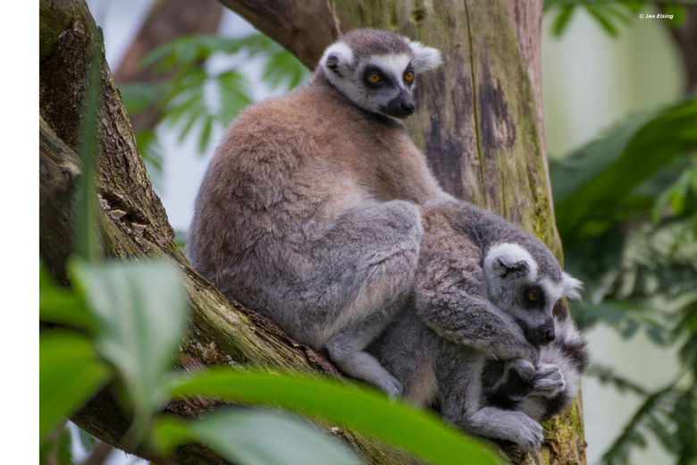 Ik verveel me - Het mooie van dierentuinen is dat dieren zich regelmatig makkelijk laten fotograferen. Zo ook deze twee zich vervelnde Makiers.