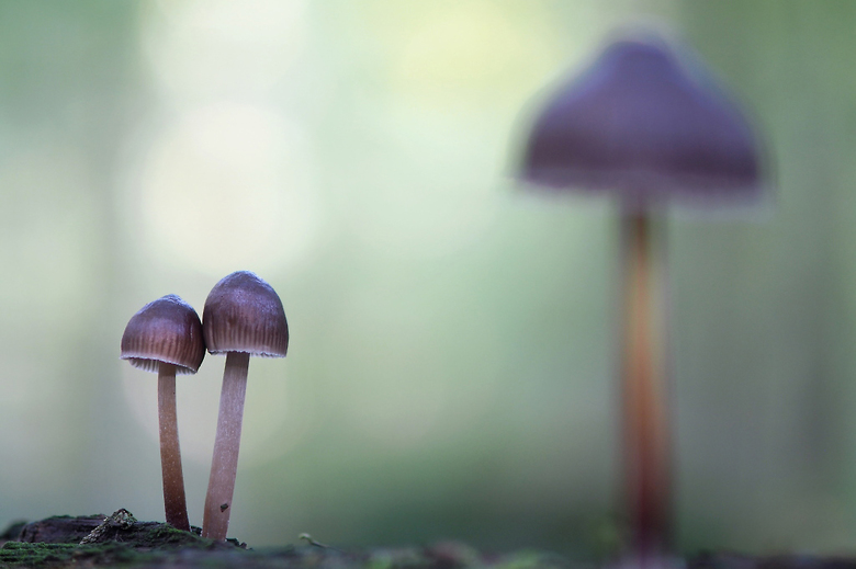 Mycena spec - Op een boomstam stonden veel van deze kleine paddenstoelen. Op zoek gegaan naar een leuke compositie.