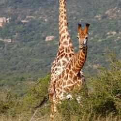 baby-giraffes maken :-)