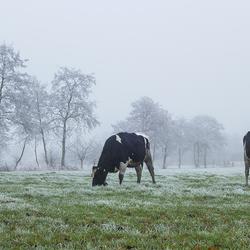 Vries koeien...