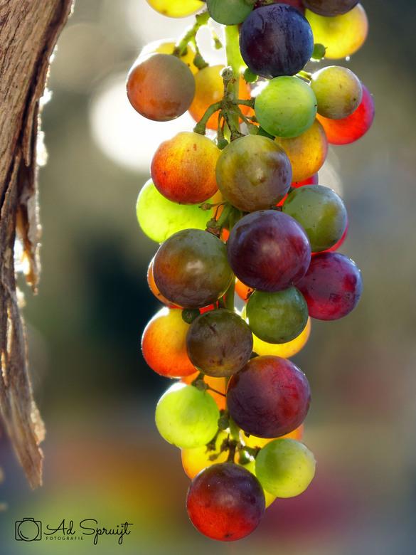Kleurenpalet - Een prachtig kleurenpalet van deze nog net niet rijpe druiven met daarachter het tegenlicht van een laagstaande zon.