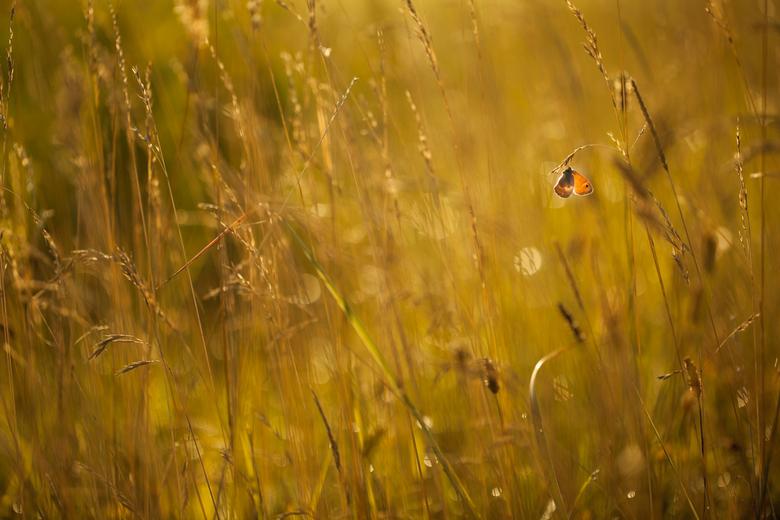 Doin' nothing, just hanging around..... - Het lijkt deze vlinder wel goed af te gaan. Maar wat verwacht je dan ook op een heerlijke zomer ochtend....<