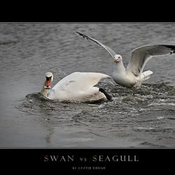 Swan vs. Seagull