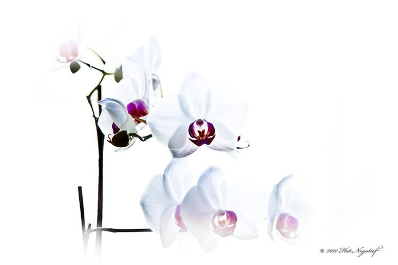 De Orchidee - Orchideëen blijf ik toch echt fascinerend vinden.