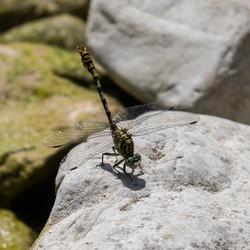 Libelle op steen