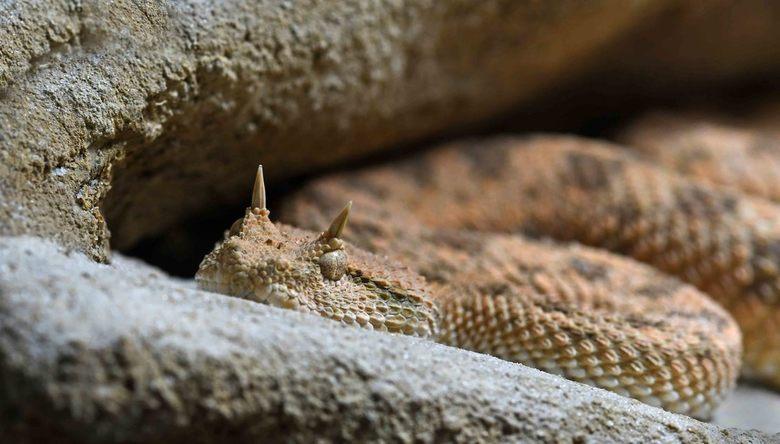 geniepig - De hoornadder is een nachtactieve woestijnbewoner. Hij verbergt zich in het zand en bijt razendsnel een voorbij komende prooi. De prooi ste