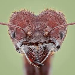bladsnijmiertje uit Brazilie (Atta Sexdens)