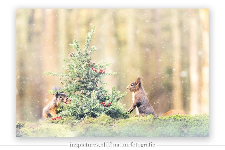 Merry Christmas from a Dutch forest - Gisteren fotografeerde ik vanuit een schuilhut deze twee schatjes bij een kerstboompje. De foto is exact geworde