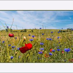 klaprozen&korenbloemen