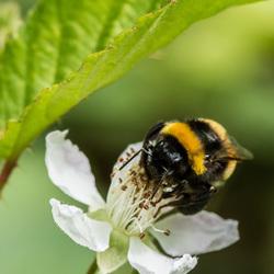 Hommel op zoek naar nectar