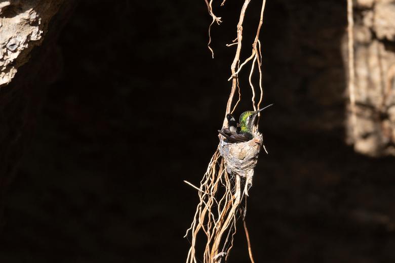 Broedende Kolibrie - Kolibrie broedend op haar nest