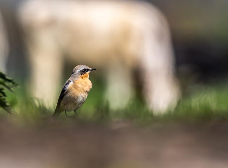 Tapuit - Lekker in de polder tussen de koeienvlaai wachtend op een mooi moment