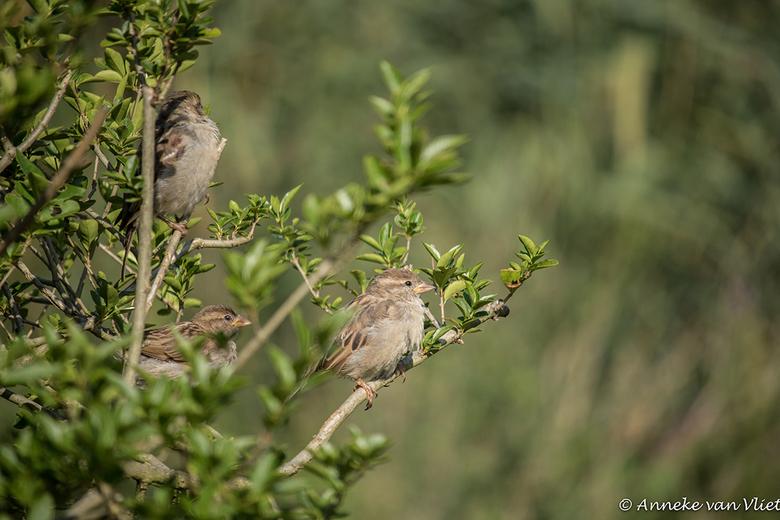 Mussen (Passeridae) in liguster -