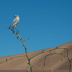 woestijnspekvreter