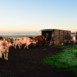 Koeien Melken bij Zonsopkomst