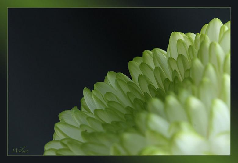 """Chrysant - Een Chrysant,<br /> er valt verder heel weinig over te zeggen <img  src=""""/images/smileys/wilt.png""""/><br /> <br /> Groetjes Wilma"""