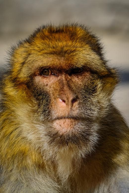 Abe the Ape - Aap in apenheul