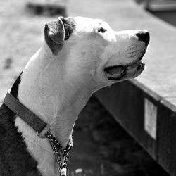 zwart wit pitbull