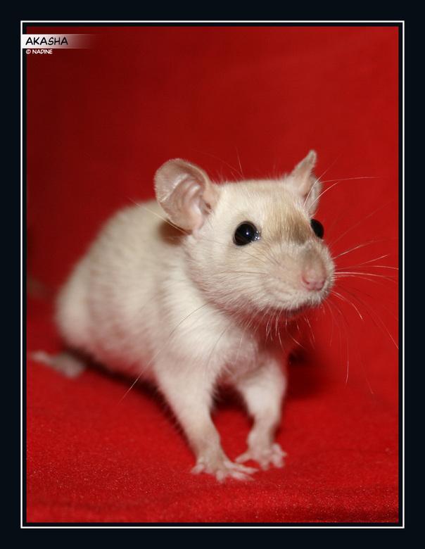 Akasha - Hier mijn ratje, nu net iets ouder dan 6 weken.<br /> Het is een siamese dame, die nog volop aan het verkleuren is. Haar donkere neusje is a