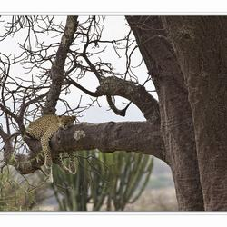 leopard in baobab boom