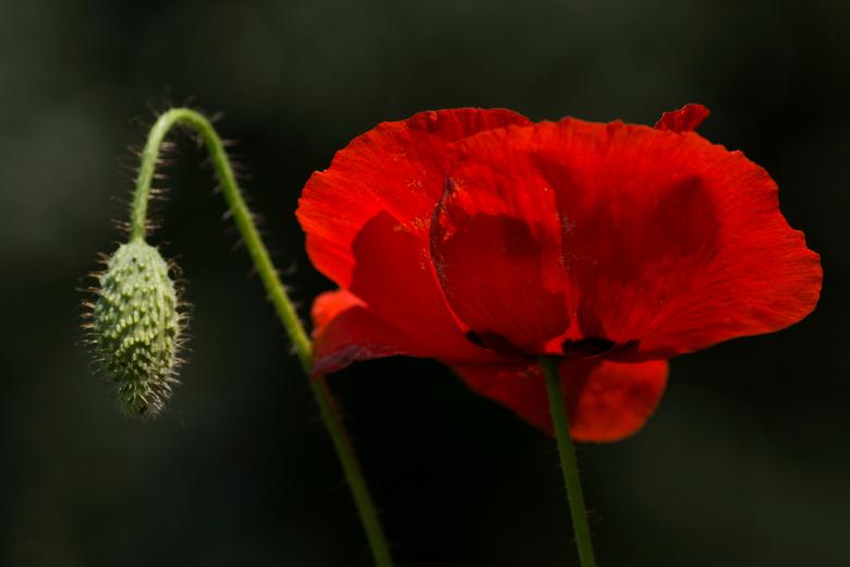 Klaproos in volle bloei met knop