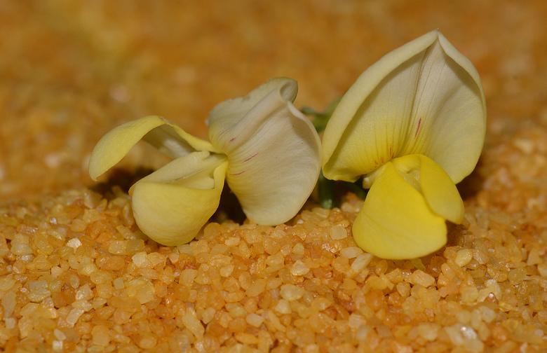 Gevallen bloem. - Bloem van een Brem ligt op de grond. (Foto uit mijn archief)