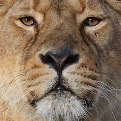 Head lioness.