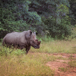 Neushoorn safari Afrika