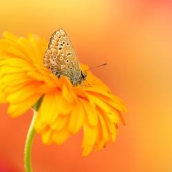 Icarus orange