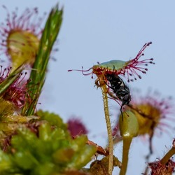 Vlieg vastgekleefd op zonnedauw