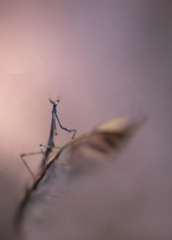 mantis with an attitude - en een attitude..had dee dame dan wel heer koppie omhoog en trots poseren
