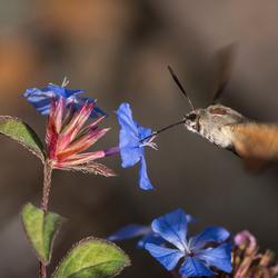 Kolibrievlinder 2