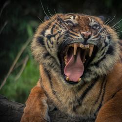 Sumatraans tijger vrouwtje ...
