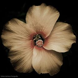 Capri Flower