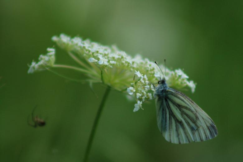 Transparent - De transparante kleur van de vlinder laat de aderen onnatuurlijk lijken.