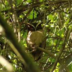 uil, Costa Rica
