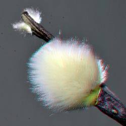 Salix Wilgenkatjes 3D macro