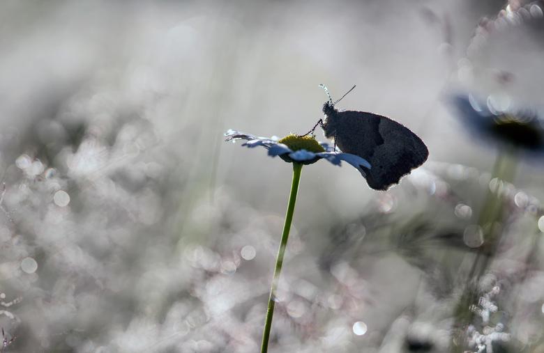 drops  - Zandoogje, gefotografeerd in tegenlicht en gebruik gemaakt van de aanwezige dauw. Dank voor jullie reactie's op 'The beauty around